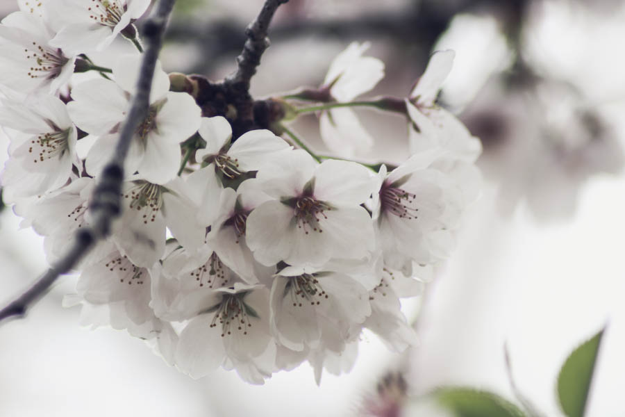 cherry-blossoms-toronto-why-6