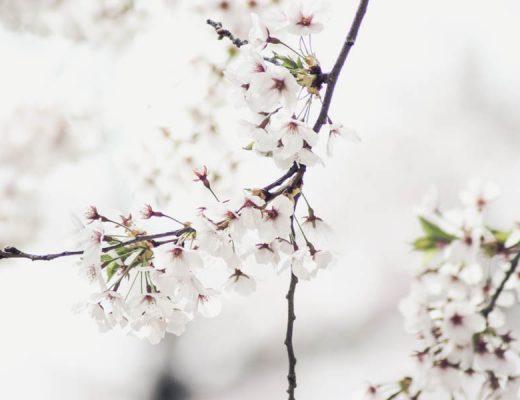 cherry-blossoms-toronto-why-7